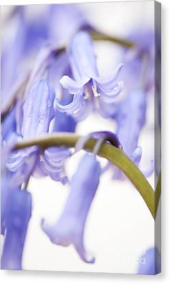 Bluebell Abstract Iv Canvas Print by Anne Gilbert