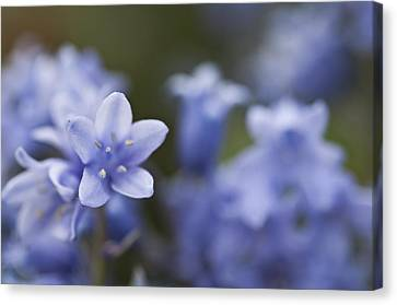 Bluebells 3 Canvas Print by Steve Purnell