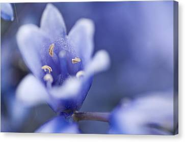 Bluebells 5 Canvas Print by Steve Purnell