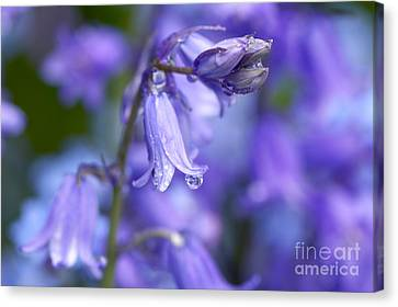 Bluebells After The Rain 2 Canvas Print by Sharon Talson