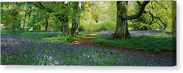Bluebells In A Forest, Thorp Perrow Canvas Print