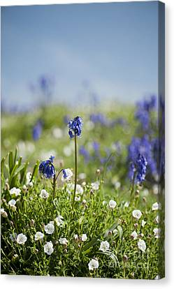 Bluebells In Sea Campion Canvas Print by Anne Gilbert