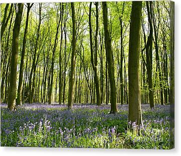 Bluebells Of Micheldever Wood Canvas Print by Alex Cassels