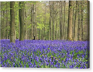 Bluebells Surrey England Uk Canvas Print