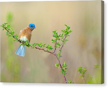 Bluebird Breeze Canvas Print