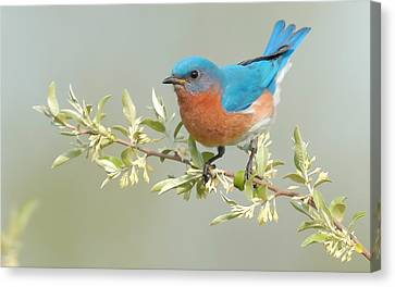 Bluebird Floral Canvas Print by William Jobes