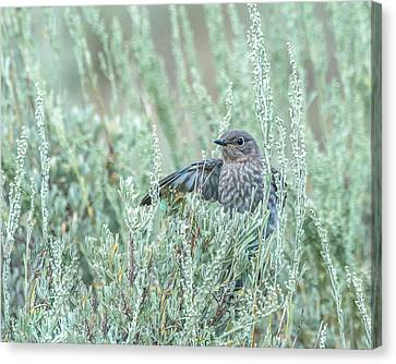 Bluebird In Sage Canvas Print