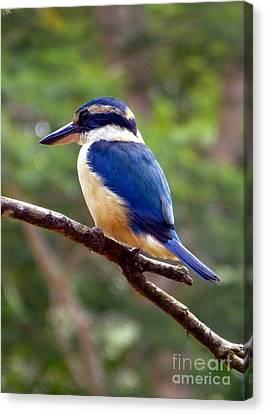 Bluebird In Suva Fiji Canvas Print