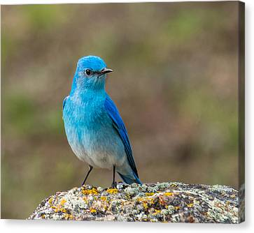 Bluebird In Yellowstone Spring Canvas Print