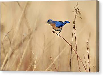 Bluebird Meadow Canvas Print by William Jobes