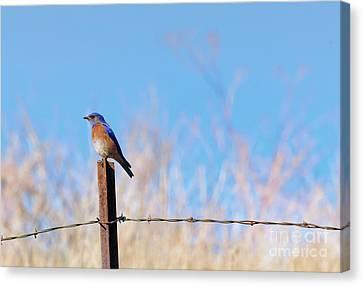Bluebird On A Post Canvas Print by Mike  Dawson