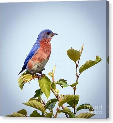 Bluebird On Top Canvas Print by Kerri Farley