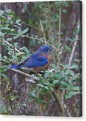Canvas Print featuring the photograph Bluebird by Patricia Schaefer