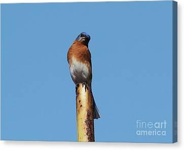 Bluebird Canvas Print by Theresa Willingham