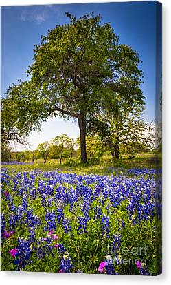 Bluebonnet Meadow Canvas Print by Inge Johnsson