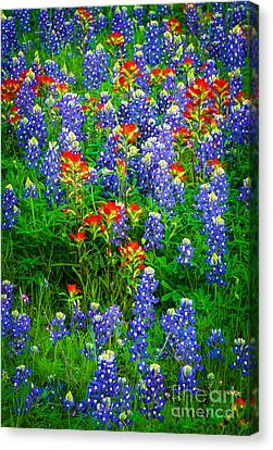 Bluebonnet Patch Canvas Print by Inge Johnsson