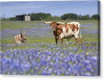 Bluebonnet Pictures - Longhorns In Bluebonnets 5 Canvas Print by Rob Greebon
