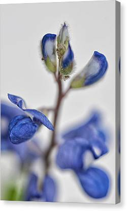 Canvas Print featuring the photograph Bluebonnet by Susan D Moody