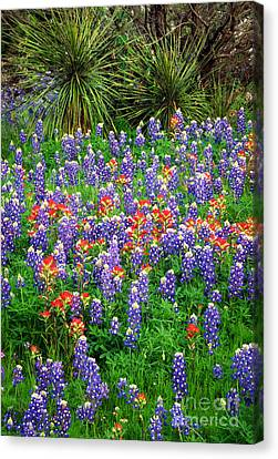Bluebonnets And Paintbrush Canvas Print by Inge Johnsson