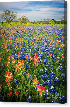 Bluebonnets And Prarie Fire Canvas Print by Inge Johnsson