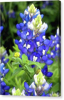 Bluebonnets Blooming Canvas Print by Stephen Anderson