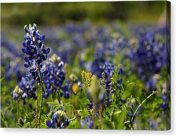 Bluebonnets In Spring Canvas Print by Linda Unger
