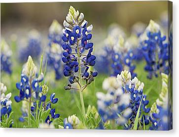 Canvas Print featuring the photograph Bluebonnets by John Maffei