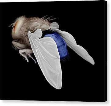 Bluebottle Fly Canvas Print by Clouds Hill Imaging Ltd