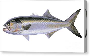 Bluefish Canvas Print by Carey Chen