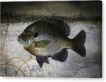Bluegill Canvas Print by Thomas Young