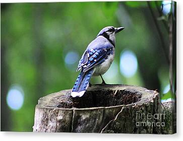 Bluejay Canvas Print by Alyce Taylor