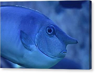 Bluespine Unicorn Fish Canvas Print