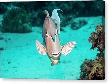 Bluespine Unicornfish By A Reef Canvas Print