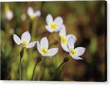 Concord Massachusetts Canvas Print - Bluet Flowers, Houstonia Caerulea by Timothy Laman