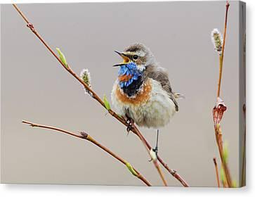 Bluethroat Singing Canvas Print by Ken Archer