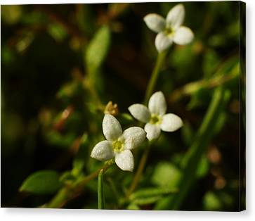 Bluets Canvas Print by Billy  Griffis Jr