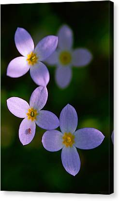 Canvas Print featuring the photograph Bluets With Aphid by Marty Saccone