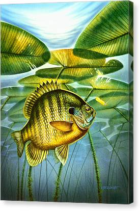 Blugill And Lilypads Canvas Print by Jon Q Wright