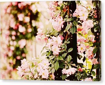 Blush Roses Canvas Print by Jessica Jenney