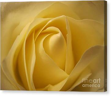 Blushing Cream Rose  Canvas Print