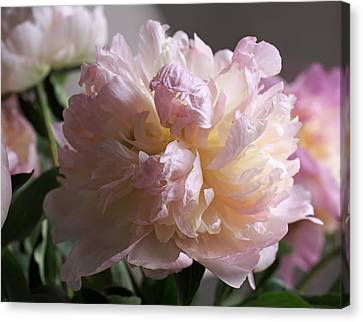 Blushing Peony Canvas Print by Rona Black