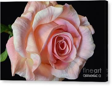Canvas Print featuring the photograph Blushing Pink Rose by Jeannie Rhode