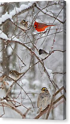 Blushing Red Cardinal In The Snow Canvas Print