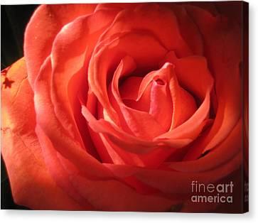 Blushing Orange Rose 1 Canvas Print by Tara  Shalton