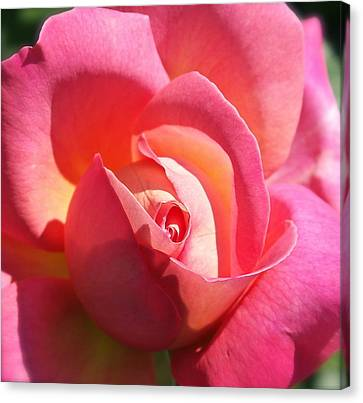 Blushing Rose Canvas Print by Michele Myers