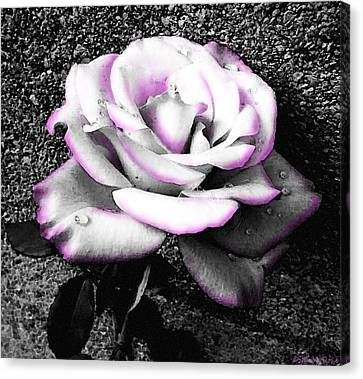 Canvas Print featuring the photograph Blushing White Rose by Shawna Rowe