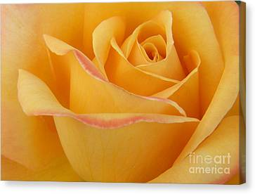 Blushing Yellow Rose Canvas Print