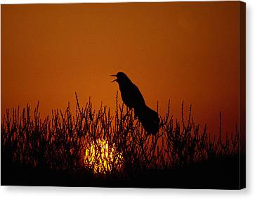 New Individuals Canvas Print - Boat-tailed Grackle Cassidix Mexicanus by Panoramic Images