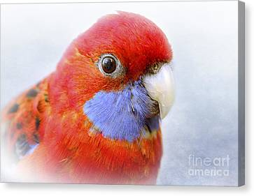 Bobby The Crimson Rosella Canvas Print by Terri Waters