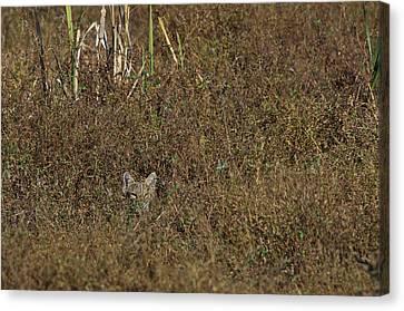 Bobcat - 5677 Canvas Print